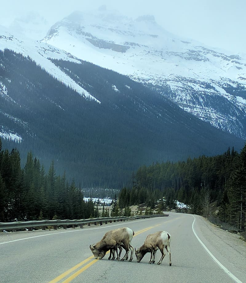 Mountain Sheep on the highway in Jasper National Park