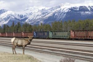 An elk in Jasper, Albeta