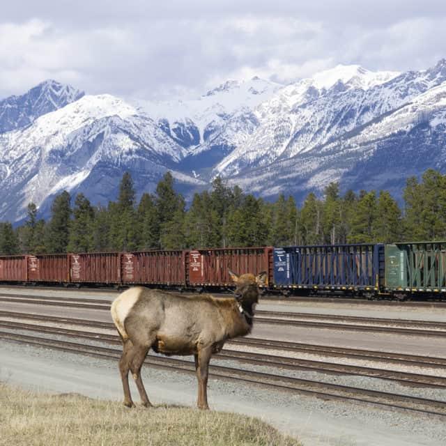 Jasper Alberta Elk