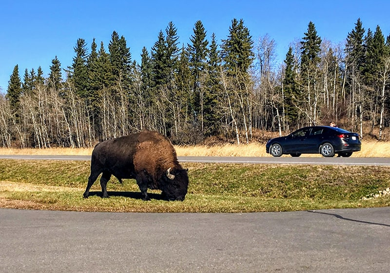 Bison in Elk Island National Park, Alberta