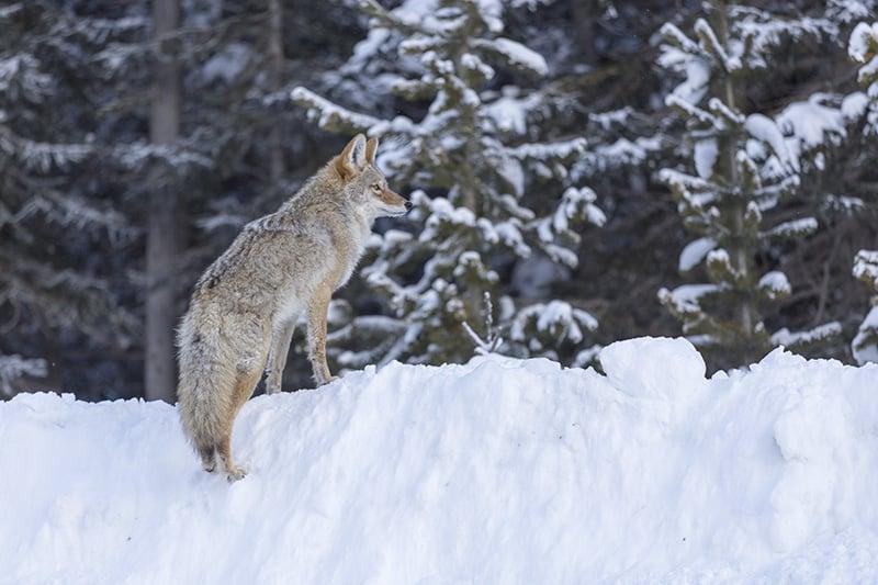 An Alberta Coyote