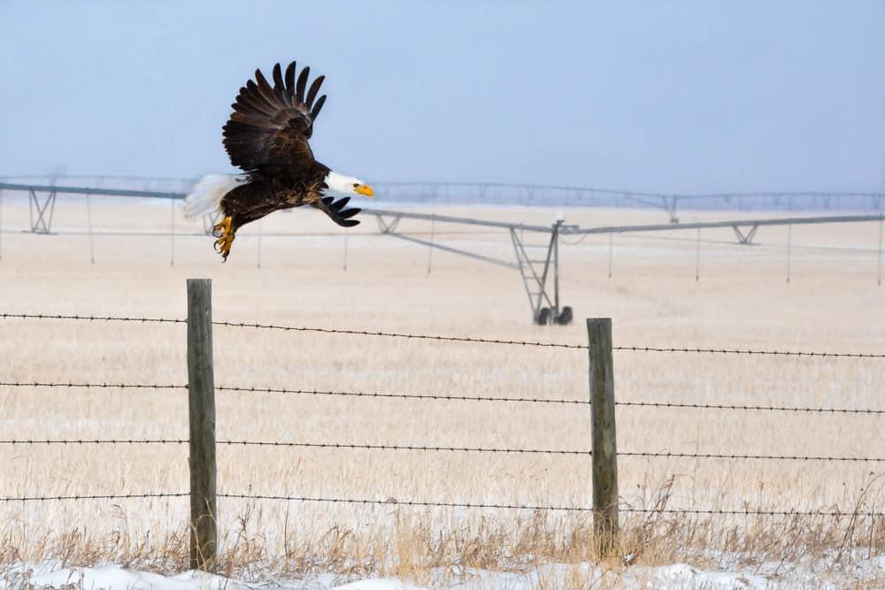 A Bald Eagle takes flight