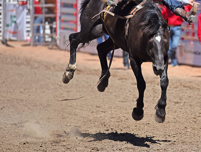 A bucking horse at the Calgary Stampede
