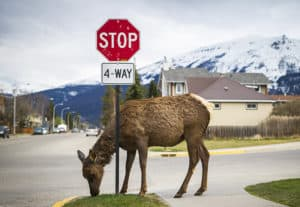An elk chews on grass in Jasper National Park