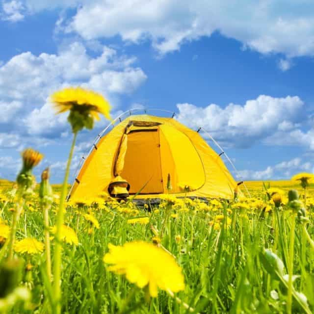 Camping tent in field of dandelions