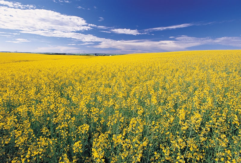 A canola field in Alberta