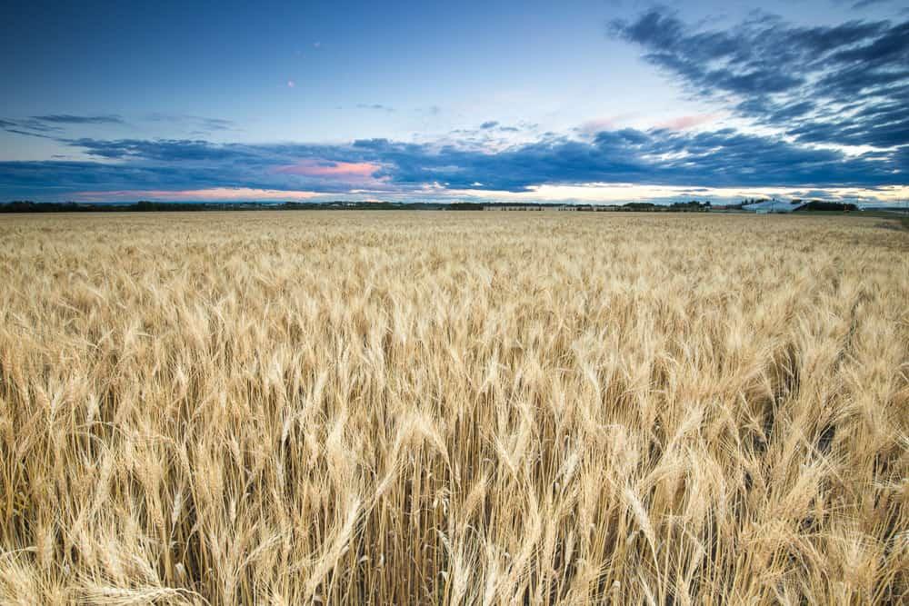 Wheat fields outside of Grande Prairie, Alberta