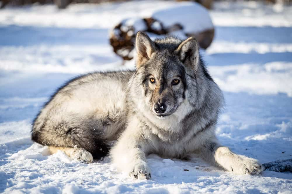 Get close to wolves at the Yamnuska Wolfdog Sanctuary