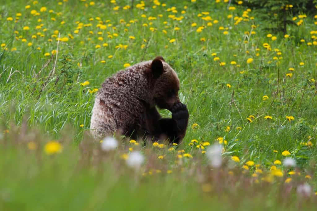 Grizzly Bear Kananaskis Alberta