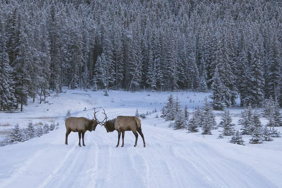 Wildlife on the Lake Minnewanka Loop