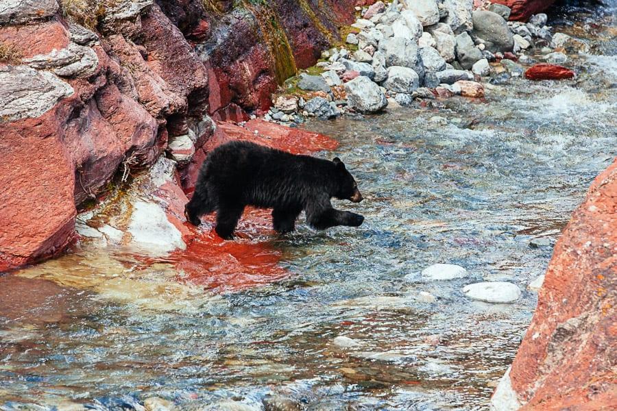 A bear in Waterton