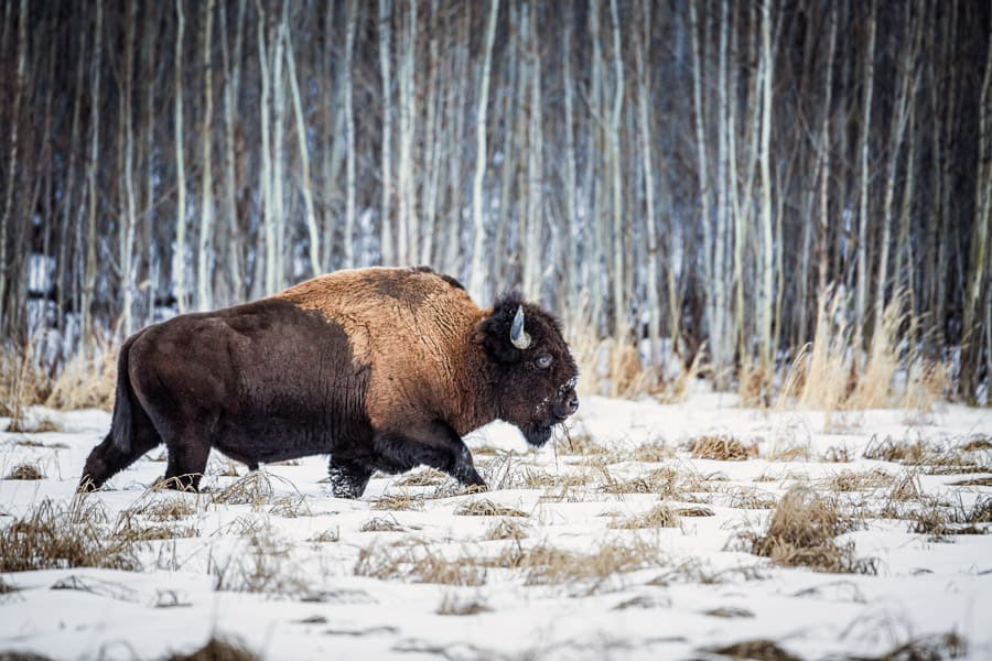 A day trip from Edmonton to Elk Island National Park to see bison and explore the wilderness.