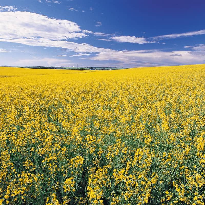Canola Fields in full bloom in central Alberta